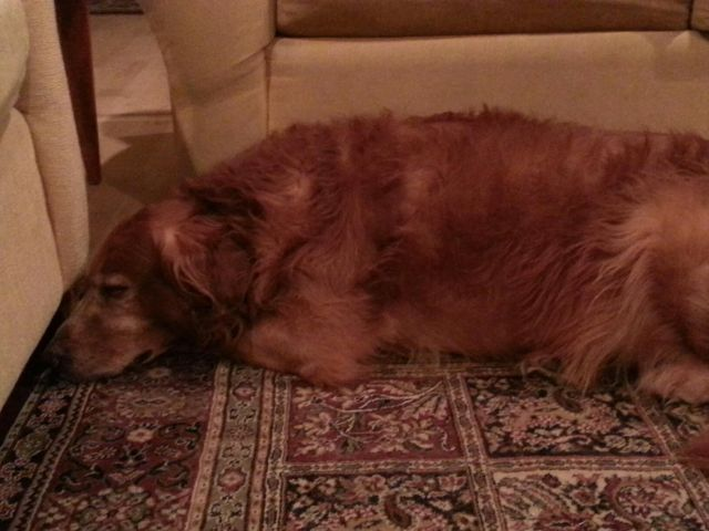 Hurley our Golden Retriever and Official Plantation Dog isn't feeling well. This is an update on him through Belle Grove Plantation Bed ad Breakfast of Port Conway and King George, Virginia